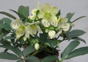 Helleborus 'Winter Passion' C2 20-30 cm