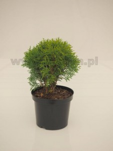 Thuja occidentalis 'Danica'  C3  15-20 cm