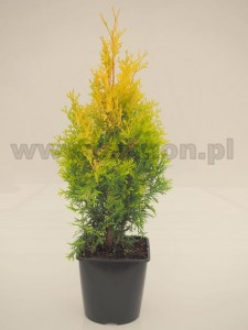Thuja occidentalis 'Maria WN'®  C3  20-30 cm