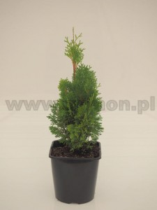 Thuja occidentalis 'Miky'  C3  15-20 cm