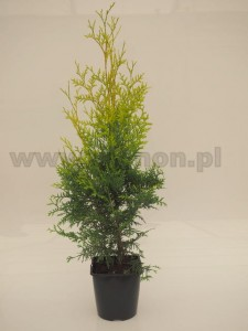 Thuja occidentalis 'Salland'  C3  40-60 cm NOWOŚĆ