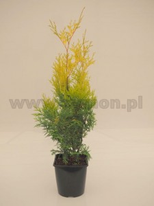 Thuja occidentalis 'Yellow Ribbon'  C3  40-60 cm
